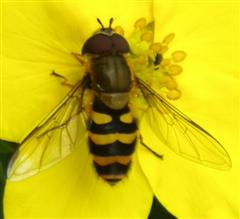 Hoverfly: note the large eyes, short antennae, wings and no waist
