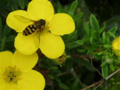 Harmless hoverfly